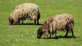 Zwei Shaggy Sheep Graze With Happiness lizenzfreies stockfoto