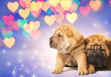 Zwei shar-pei Welpen in der Liebe Lizenzfreies Stockbild