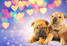 Zwei shar-pei Welpen in der Liebe Stockfotografie