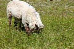 Zwei sheeps auf der Wiese Lizenzfreies Stockfoto