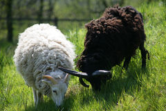 Zwei sheeps Yin u. Yang Stockfotografie