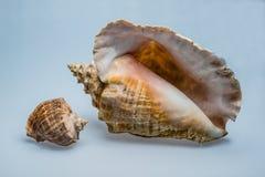Zwei Shells lizenzfreie stockfotos