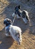 Zwei Shih Tzu-Hunde oben gebunden mit einer Leine, die selbst läuft lizenzfreie stockfotografie