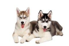 Zwei Sibirier Husky Puppy lokalisiert auf Weiß Stockfotos
