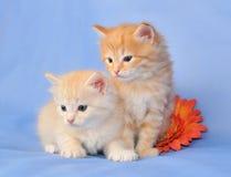Zwei sibirische Kätzchen Stockfotos