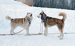 Zwei sibirische Schlittenhunde Stockfotos