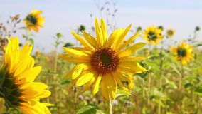 Zwei Sonnenblumen stock video footage