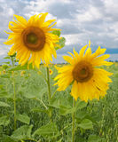 Zwei Sonnenblumen Stockbild