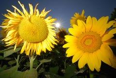 Zwei Sonnenblumen Lizenzfreies Stockbild