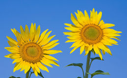 Zwei Sonnenblumen Stockfotografie