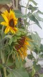 Zwei Sonnenblumen Lizenzfreie Stockbilder