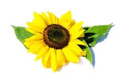 Zwei Sonnenblumen mit den Blättern lokalisiert auf weißem Hintergrund stockfotos