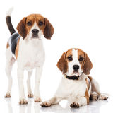 Zwei Spürhunde Lizenzfreie Stockfotos