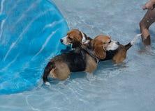 Zwei Spürhunde im Swimmingpool Stockfotos