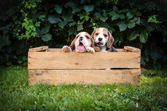 Zwei Spürhundwelpen lizenzfreie stockfotos