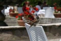 Zwei Spatzen über einem weißen Stuhl, in einem flawering Garten Stockbild