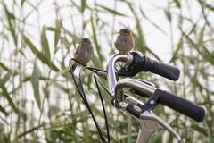 Zwei Spatzen auf einem Fahrrad stockfotos