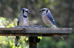 Zwei speisendes blaues Jays Stockfoto