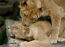 Zwei spielende Junge (junge Löwen) Stockbilder