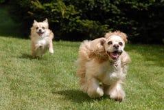 Zwei spielerische Hunde Lizenzfreies Stockfoto