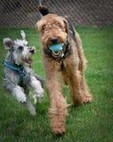 Zwei spielerische Hunde draußen Lizenzfreies Stockfoto