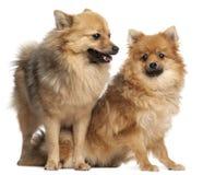 Zwei Spitzhunde, 1 Einjahres Stockbild