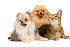 Zwei Spitzhunde und Katze im Studio Lizenzfreies Stockbild