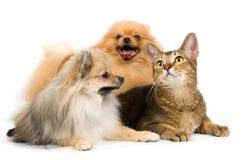 Zwei Spitzhunde und Katze im Studio Stockbild