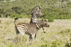 Zwei springende und spielende Zebras Lizenzfreie Stockbilder