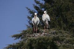 Zwei Störche, die ein Nest errichten stockfotografie