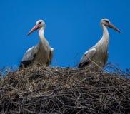 Zwei Störche in einem Nest Stockfotografie