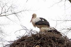 Zwei Störche in ihrem Nest warten auf besseres Wetter Lizenzfreies Stockbild