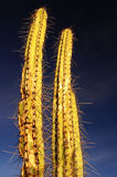 Zwei stacheliger Kaktus #1 Lizenzfreies Stockfoto