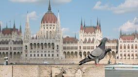 Zwei Stadttauben sitzen auf Kai von der Donau in Budapest, ungarisches Parlaments-Gebäude stock footage