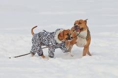 Zwei Staffordshire-Terrierhunde, die Liebesspiel auf einer Schneedecke spielen Stockbild