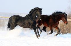 Zwei Stallions Lizenzfreies Stockfoto
