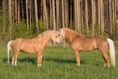 Zwei Stallions auf Weide Stockfotos