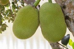 Zwei Steckfassungsfrüchte, die am Baum hängen stockfotos