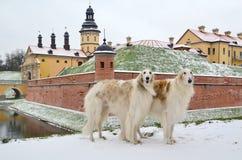Zwei stehende russische Wolfshunde Stockfoto