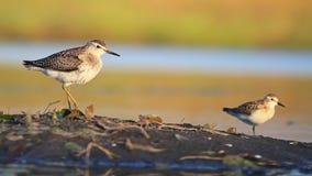 Zwei Stelzvögel, die auf einem Bein nahe dem Wasser stehen stock video