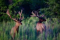 Zwei Stier-Elche auf dem grünen Gebiet lizenzfreies stockbild