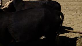 Zwei Stiere, die einen Pflug tragen stock video footage