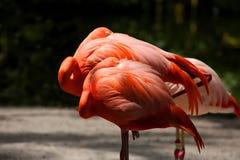 Zwei stillstehende rosa Flamingos, die neben einander stehen lizenzfreie stockfotografie