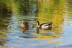 Zwei Stockenten-Enten Lizenzfreies Stockfoto