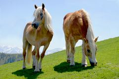 Zwei stolze Pferde, die auf grüner Wiese weiden lassen Stockfotografie