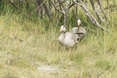 Zwei Streifengänse, die durch langes Gras gehen Stockfotos