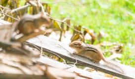 Zwei Streifenhörnchen (Tamias) auf einem hölzernen Stapel in der Sonne Stockbild