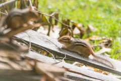 Zwei Streifenhörnchen (Tamias) auf einem hölzernen Stapel in der Sonne Lizenzfreie Stockfotos