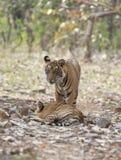 Zwei subadult Tiger, Nationalpark Ranthambhore, Rajasthan, Indien lizenzfreie stockfotografie