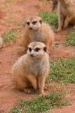 Zwei Suritcates oder Meerkats (Suricata Suricata) Stockfotografie